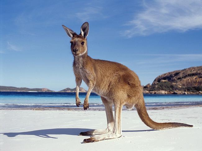 kangaroo-01_med